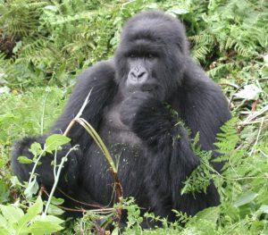 gorille3